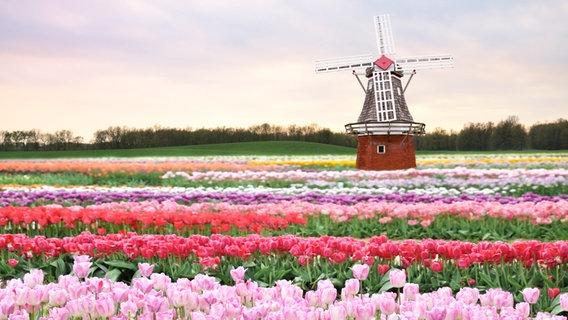 Eine Windmühle in einem bunten Tulpenfeld © picture alliance/Bildagentur-online Foto: Bildagentur-online/Svetlanna